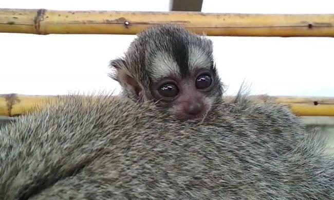 Ennél cukibb ma nem lesz: óriási szemű éji majom kölyök született a Főváros Állatkertben