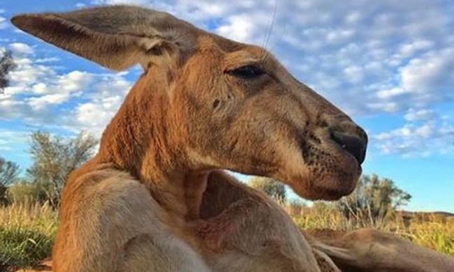 Meghalt Roger, a kigyúrt kenguru