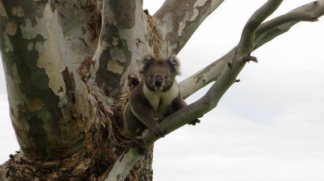 Nagy a baj az erdőtűz után, a túlélő koalákat is veszély fenyegeti