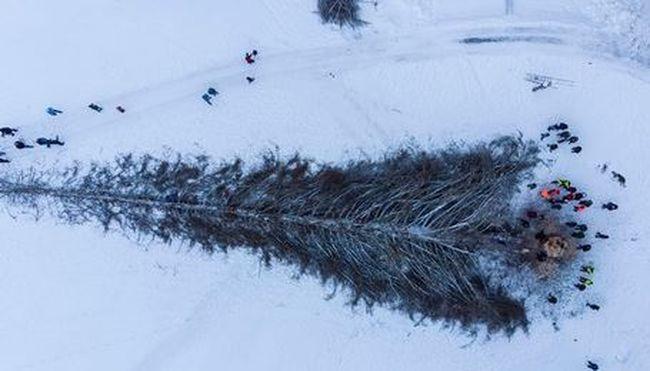 48 méter magas volt, kivágták Svájc legmagasabb fenyőjét