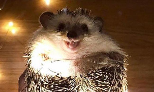 Ennél cukibb ma nem lesz: állandóan mosolyog Rick, a süni