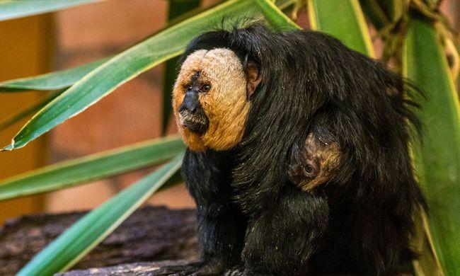 Váratlan dolgot tett a Nyíregyházi Állatpark sátánmajma, eddig azt hitték magára fogja hagyni a kicsit