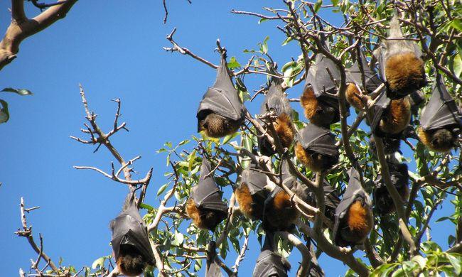 Két nap forróság elég volt: kipusztult egy gyümölcsevő faj harmada