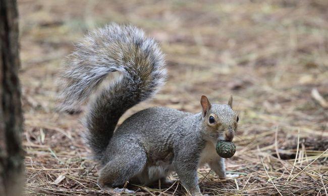 """Új trend terjed a környezetvédelem jegyében: mókusos fogásokat esznek az """"etikus húsfogyasztók"""""""