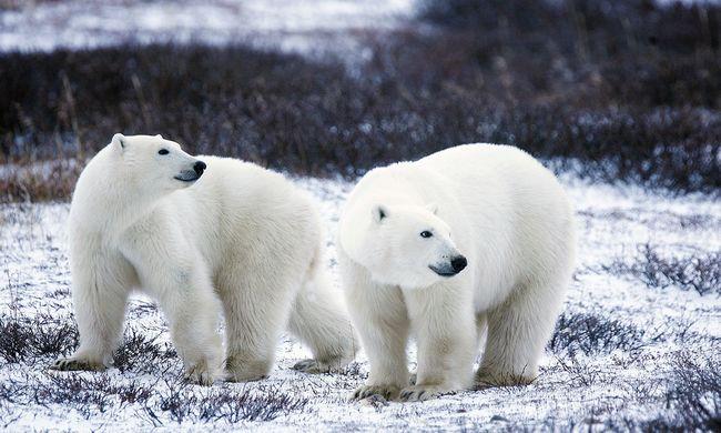 Soha nem láttak még ilyet a szigetlakók, szükségállapot az éhes jegesmedvék miatt