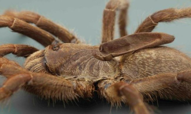 Nagyon különös testrésszel bír ez a pók: a tudósok sem értik, mire használja