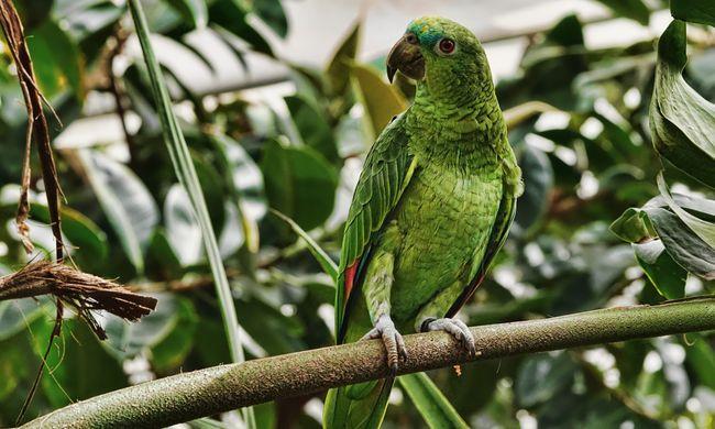Bódult papagájok teszik tönkre a helyiek életét, megdézsmálják a máktermést