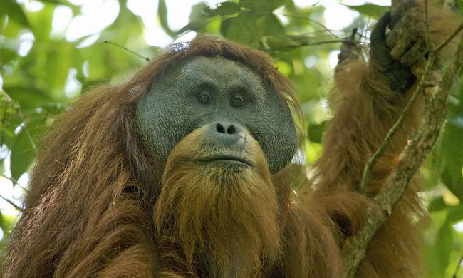Brutális kegyetlenség: eltörték az orangután csontjait, testét vágásnyomok borították