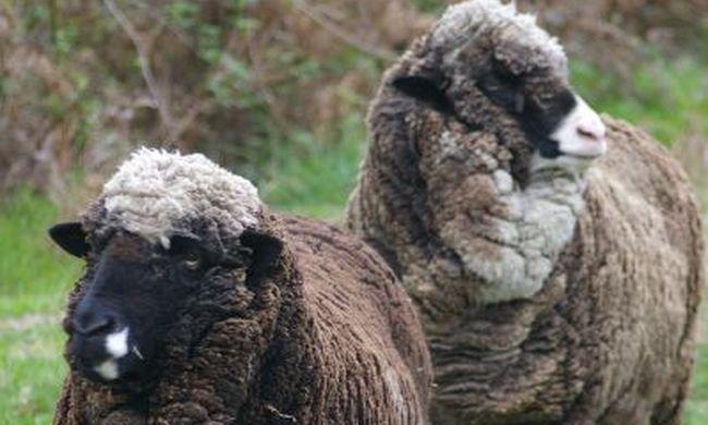 50 éves spermát használtak fel, sikerült a juhok megtermékenyítése