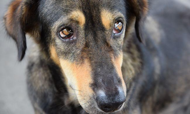Bebizonyosodott, a kutyák tényleg érzik a félelem szagát