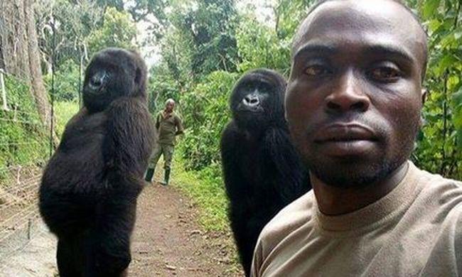Ennél mókásabb ma nem lesz: vadőrökkel pózoltak a gorillák - fotó