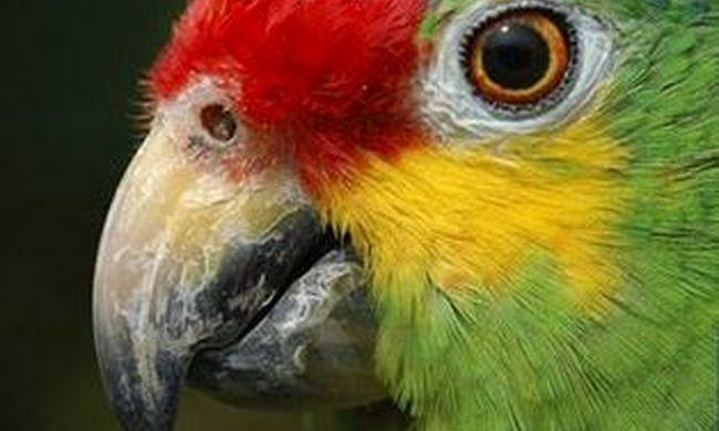 """""""Anya, a rendőrök"""" - kötelességtudó papagájt foglaltak le a drogbandánál"""