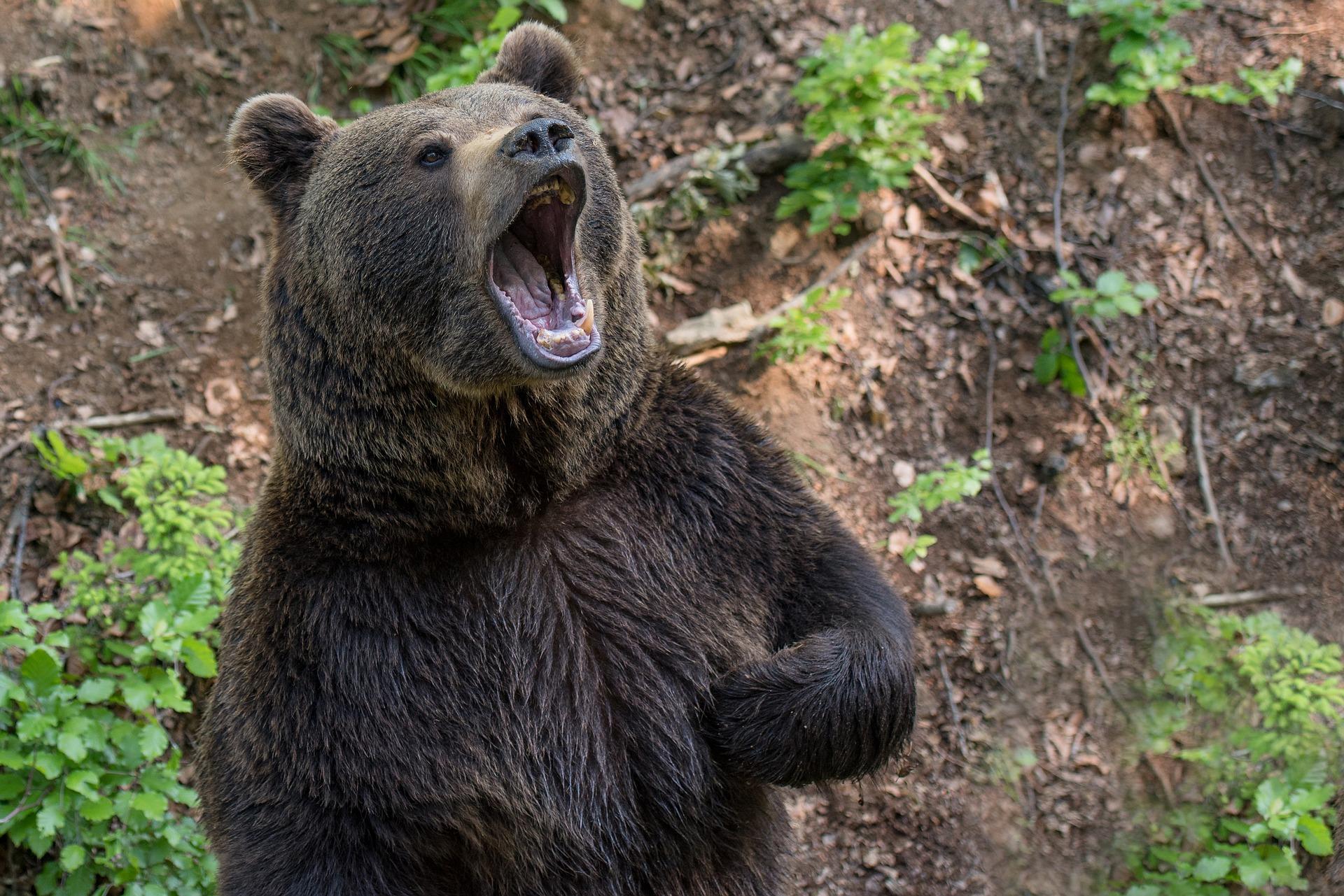 Újabb medvetámadás: 15 éves fiú az áldozat